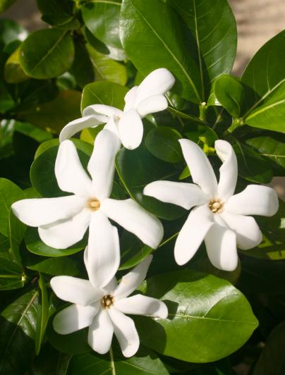 """""""Ua uaa te tiare"""" : la fleur est parfaitement épanouie, les vahine la portent alors à l'oreille."""