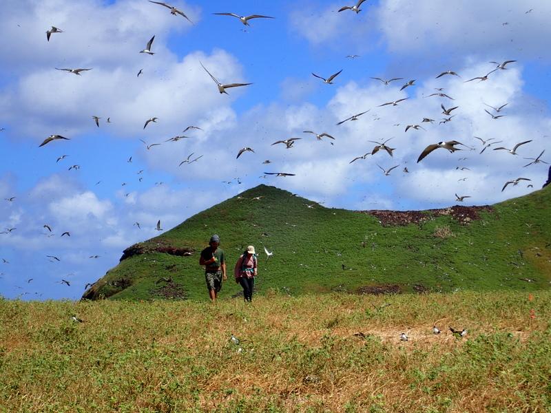 La récolte des œufs de kaveka est une pratique ancestrale aux Marquises. Maintenant que la colonie d'oiseaux de mer est protégée du terrible prédateur qu'est le rat, la tradition pourra perdurer dans le temps.