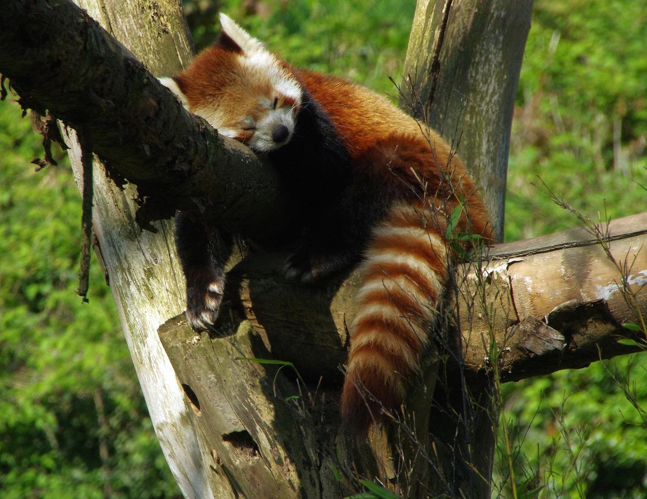 """""""Mushu"""", le panda roux fugueur d'un zoo auvergnat a été retrouvé"""