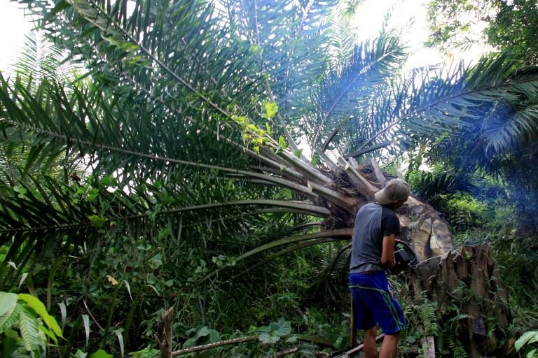Contre la déforestation, la Malaisie teste des palmiers à huile nains