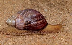 - Eradiquer l'escargot Achatina fulica.