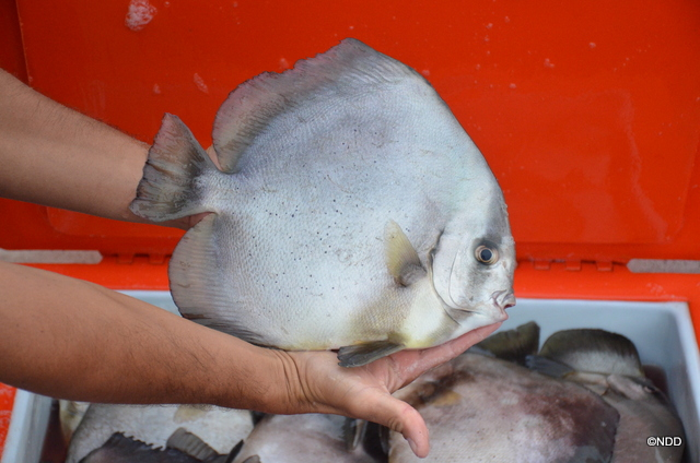 Pour qu'un Paraha peue soit prêt à être consommé, il faut compter environ un an d'élevage pour un poisson d'un kilo.