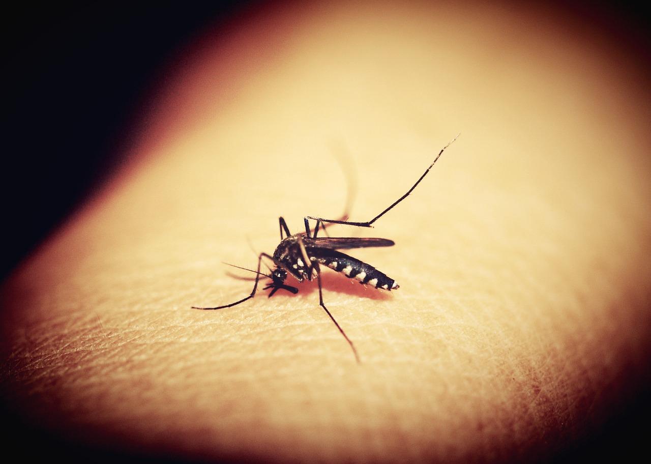 Comment les moustiques sentent la sueur des humains