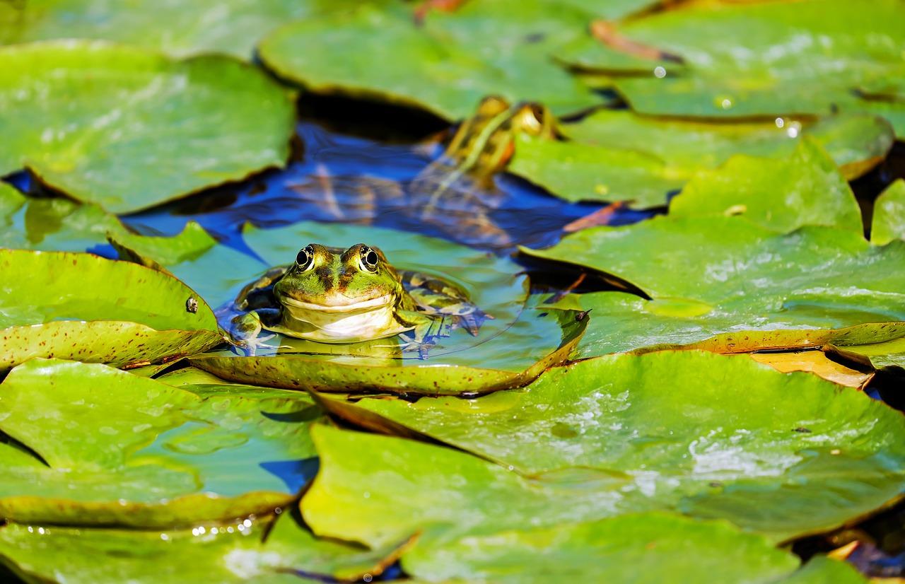 Des scientifiques alertent sur une pandémie mortelle pour les amphibiens