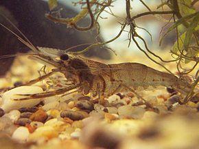 Les crustacés d'eau douce comme les chevrettes peuvent porter le parasite.Il faut les cuire ou les congeler avant de les consommer !