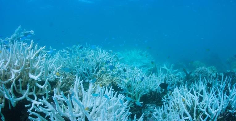 Le blanchissement du corail est l'une des conséquences du réchauffement climatique.