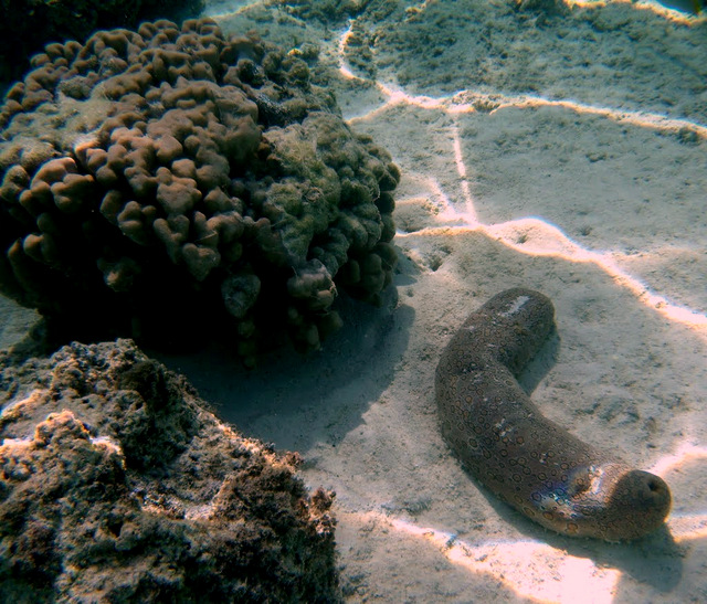 Ouverture de la pêche aux holothuries dans les îles de Makemo et Marutea Nord