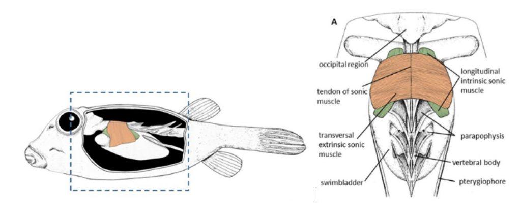 Schéma de l'appareil sonore du poisson coffre, avec en saumon les muscles transversaux extrinsèques et en vert les muscles longitudinaux intrinsèques (crédit : E. Parmentier)