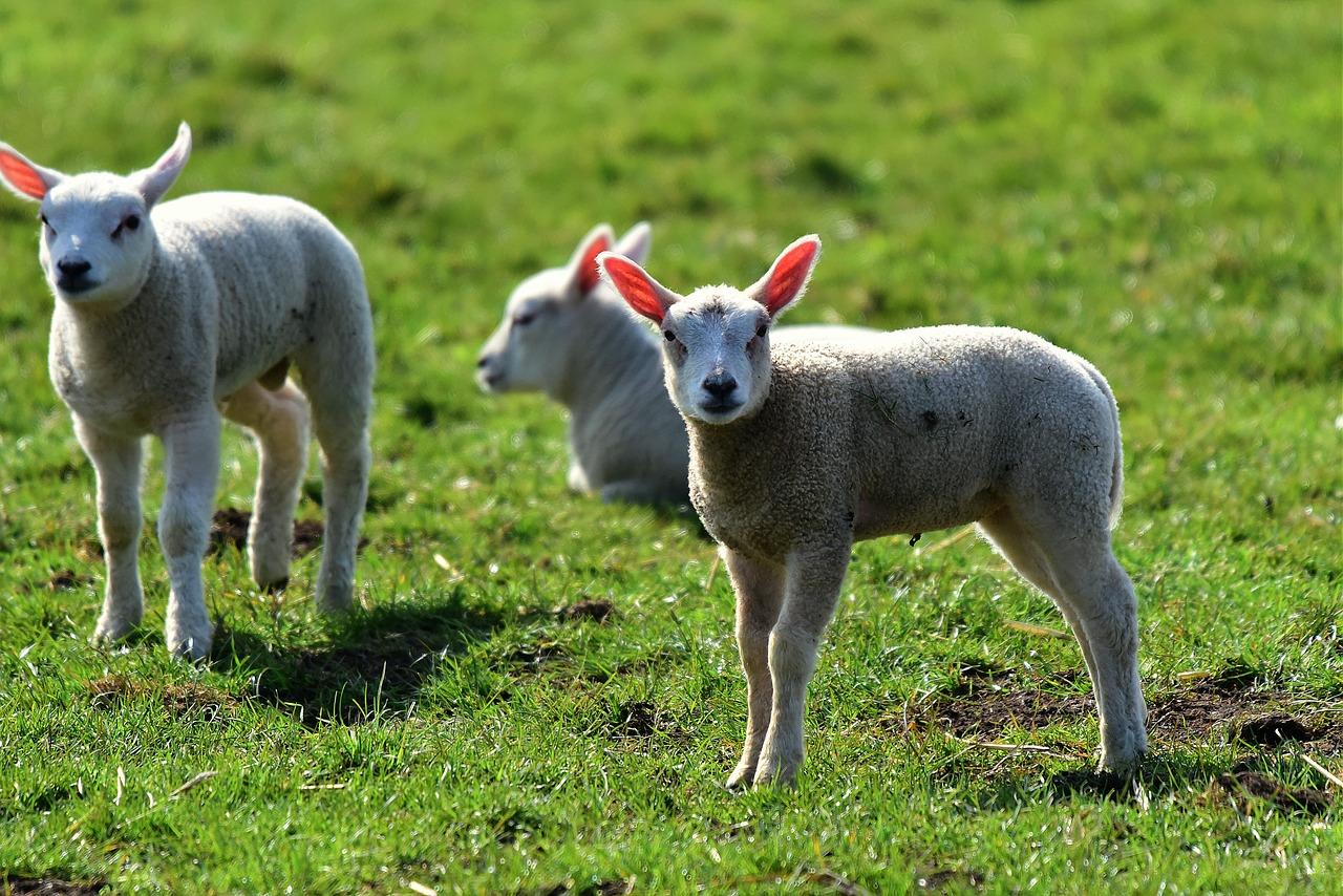 Isère: 15 moutons inscrits à l'école pour éviter une fermeture de classe