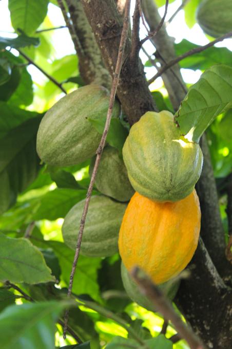 Les cabosses de cacao poussent à même le tronc ou les grosses branches du cacayoer, un arbre dit de ce fait « cauliflore ».
