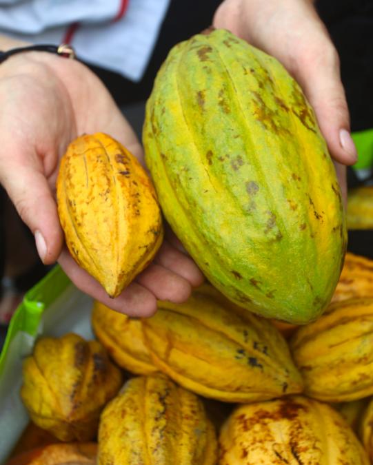 Il y a de nombreux hybrides de cacaoyers en Polynésie, certains produisant de grosses cabosses et d'autres des très petites.