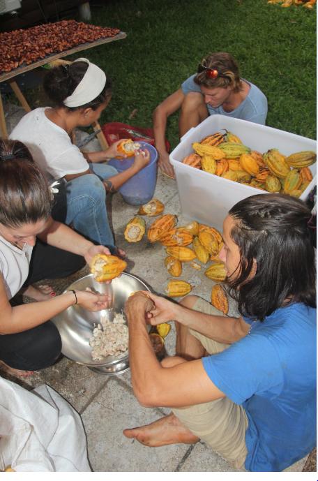 La corvée de l'ouverture des cabosses et du tri des fèves ; cueillies trop mûres, les fruits fournissent des fèves déjà germées.