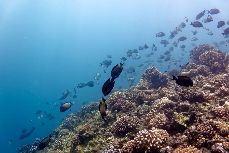 Ces poissons herbivores se nourrissent d'algues, et se faisant ils assurent la prospérité des coraux qui ont besoin eux-aussi de lumière. (crédit photo : Gilles Siu)