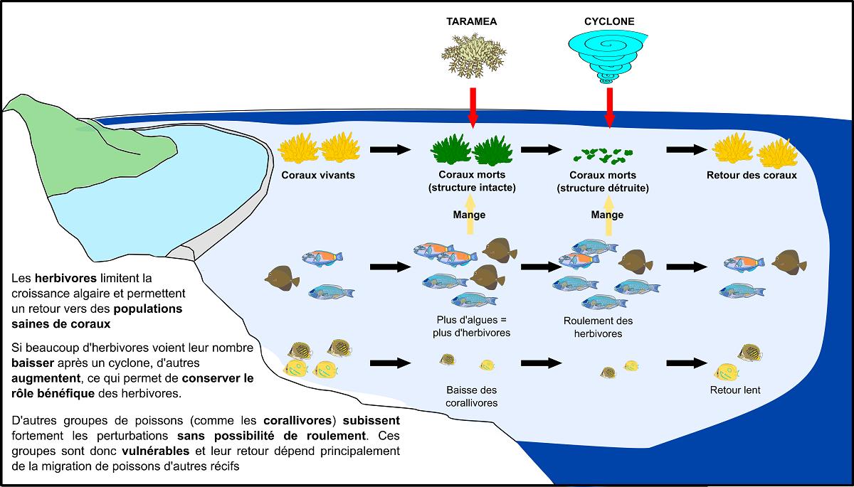 Ce schéma résume les différents rôles des poissons au service de la survie de la barrière de corail