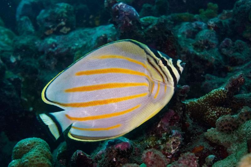 Même les poissons qui mangent le corail, comme ce poisson-papillon, ont un rôle dans la survie du récif. (Crédit photo : Gilles Siu)