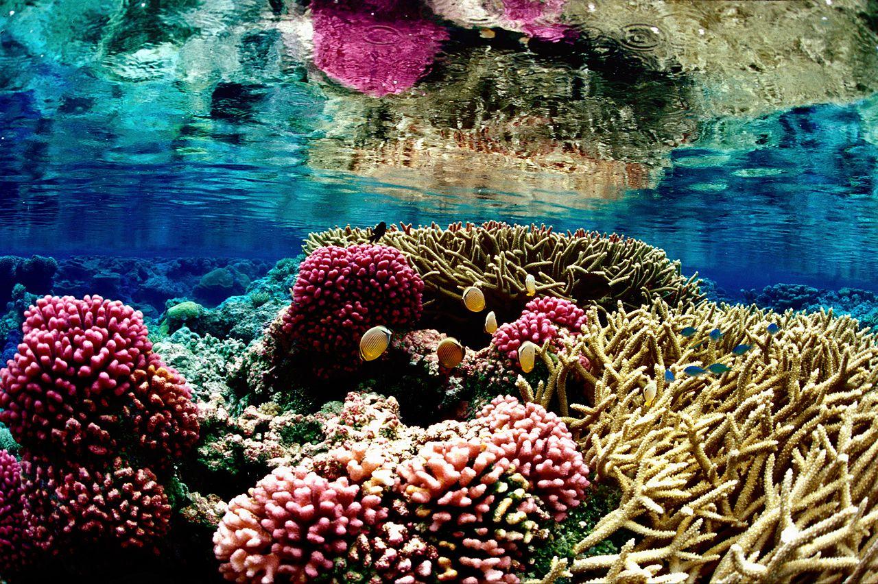 Les fonds marins de Palmyra contiennent certes un trésor, mais également des merveilles de vie animale, comme ces coraux.