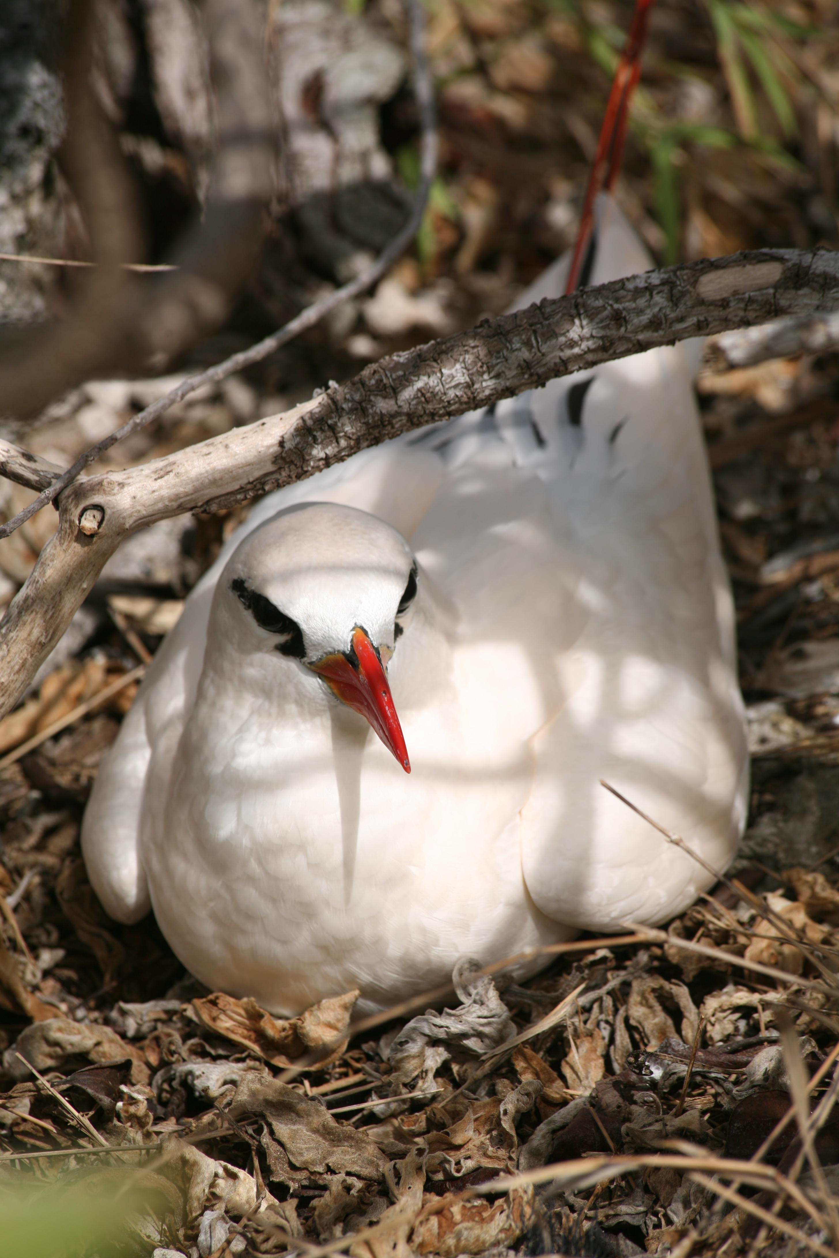Un paille-en-queue au nid ; les oiseaux constituent l'une des attractions touristiques de l'atoll.