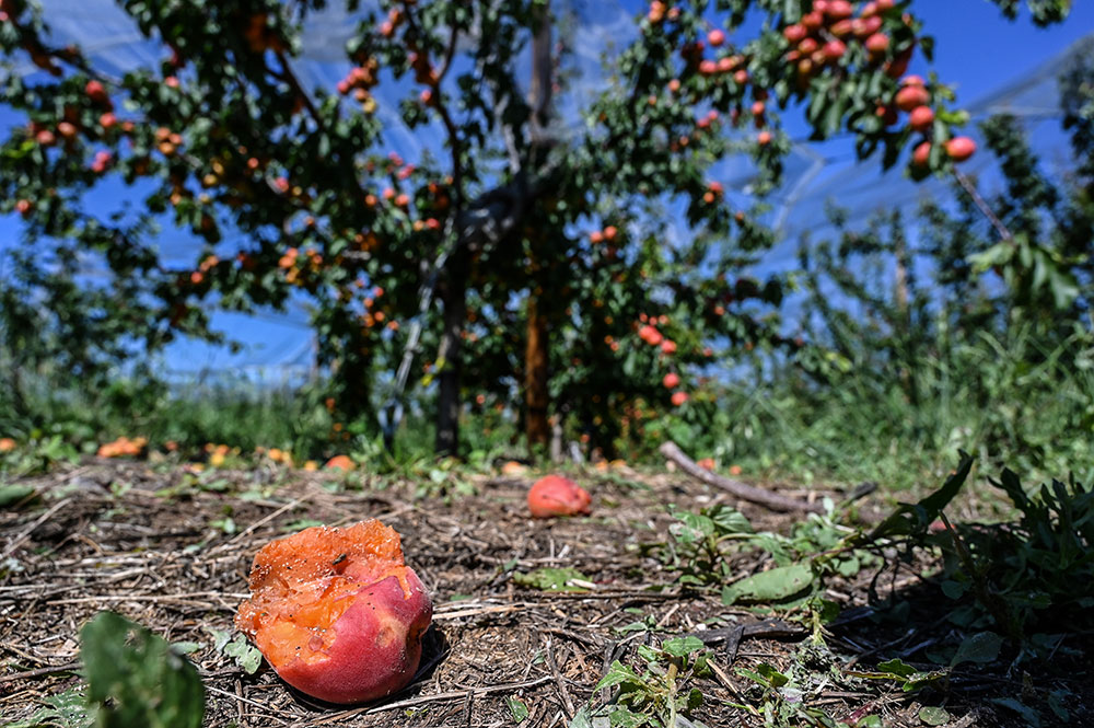 """Récoltes """"foutues"""" et état de catastrophe naturelle après les orages de grêle dans la Drôme"""