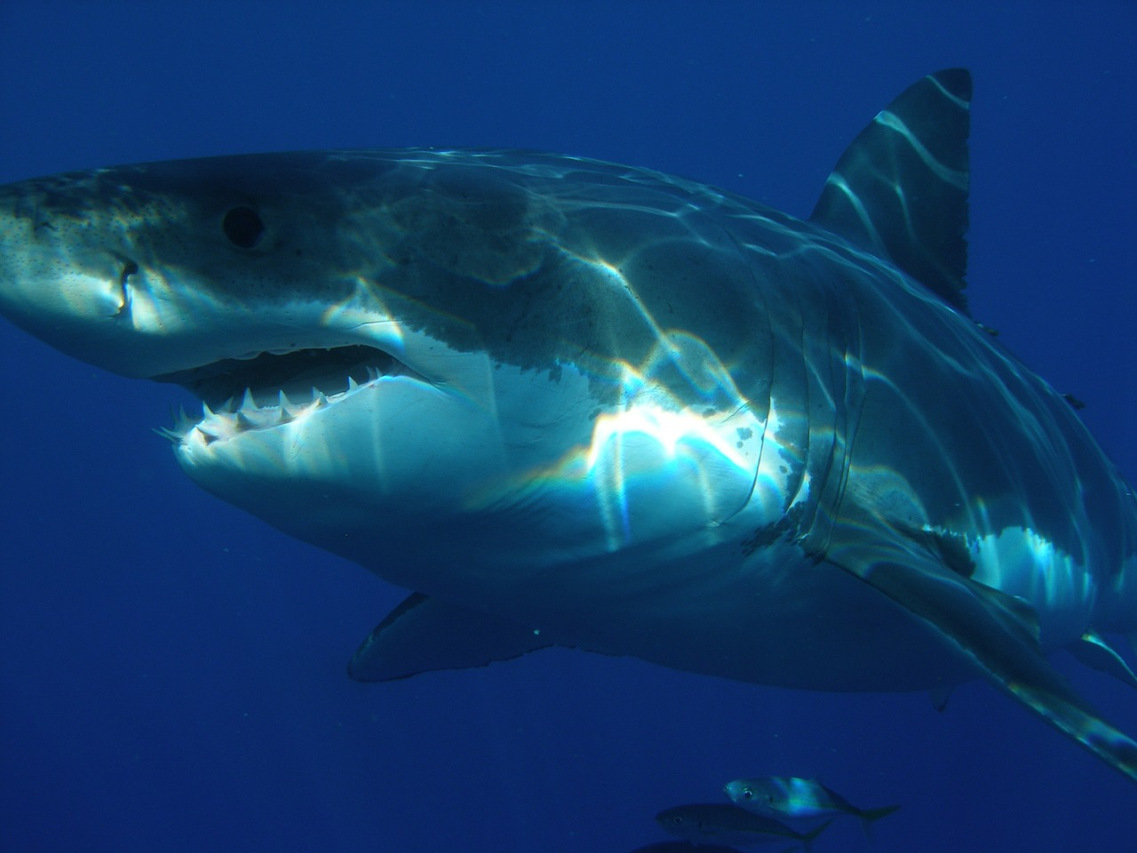 Troisième attaque de requin en Caroline du Nord en juin