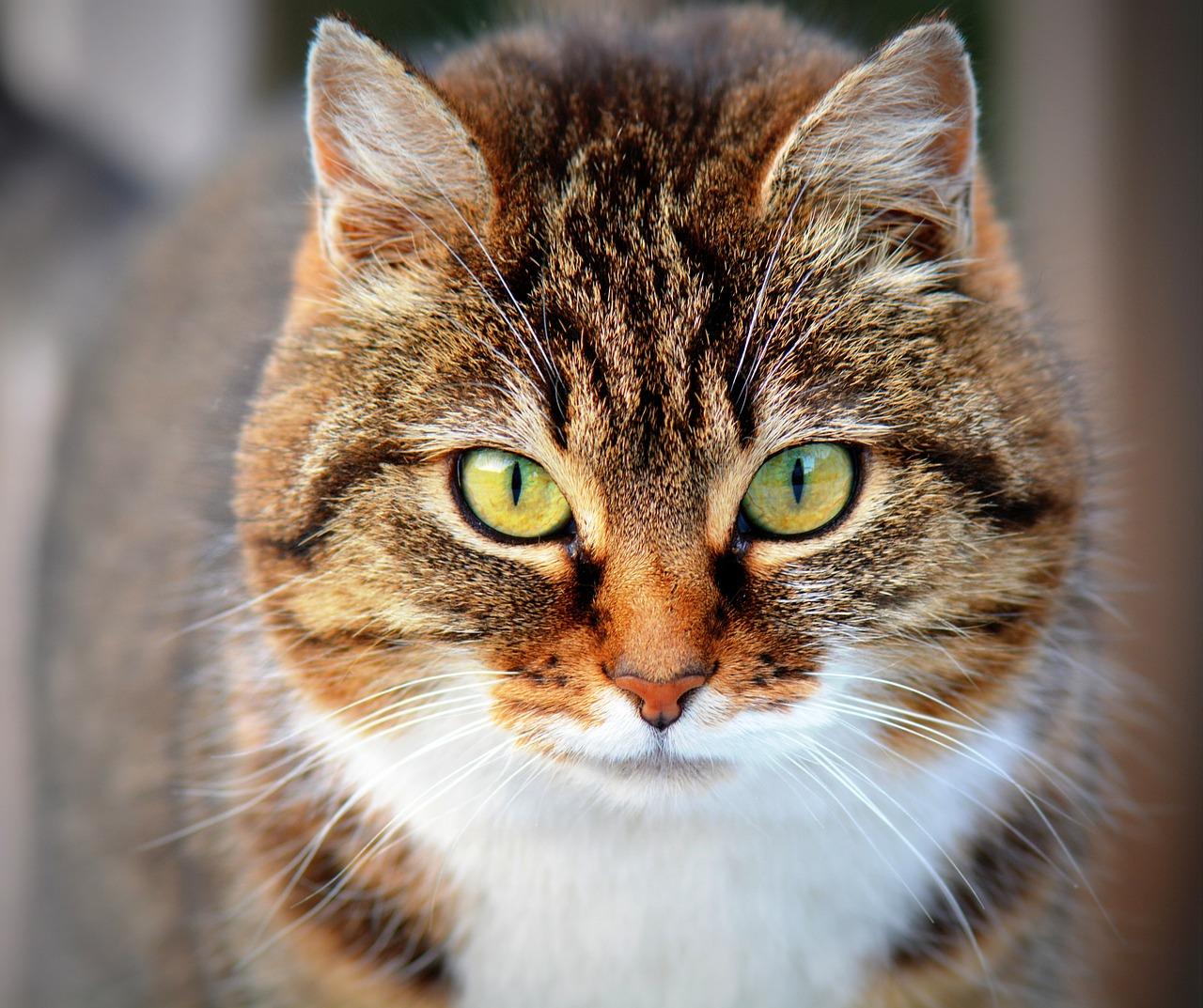 Les chats stérilisés sont en meilleure santé et vivent plus vieux