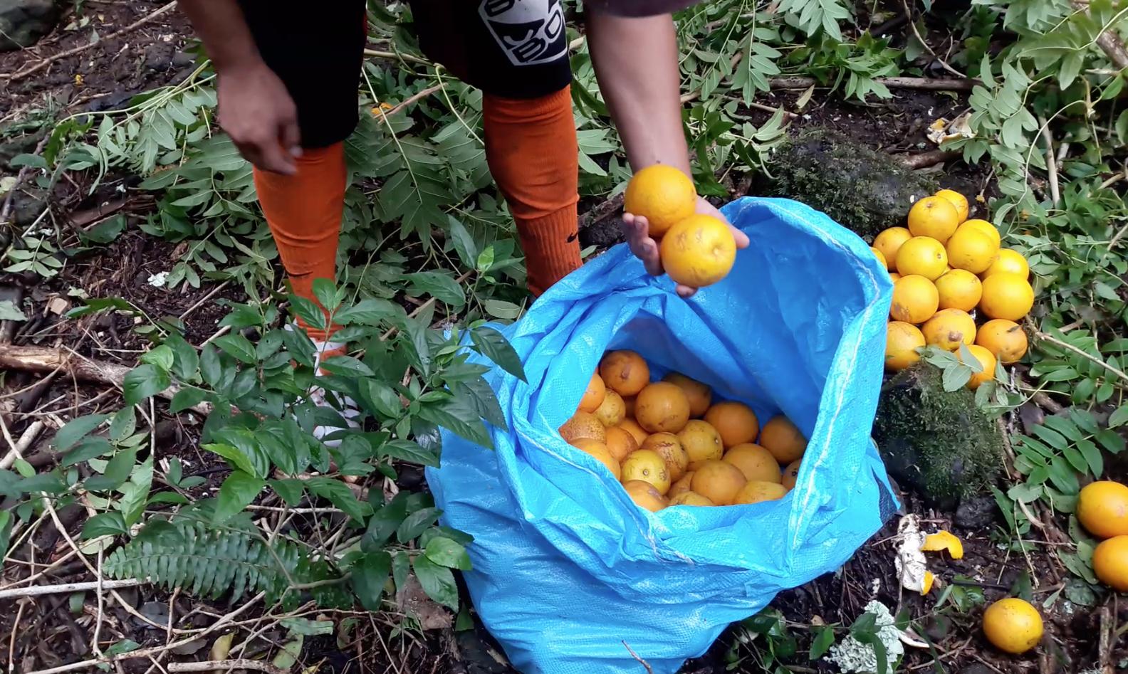 Les oranges du plateau de Maretia sont réputées pour être les plus belles et les plus savoureuses.
