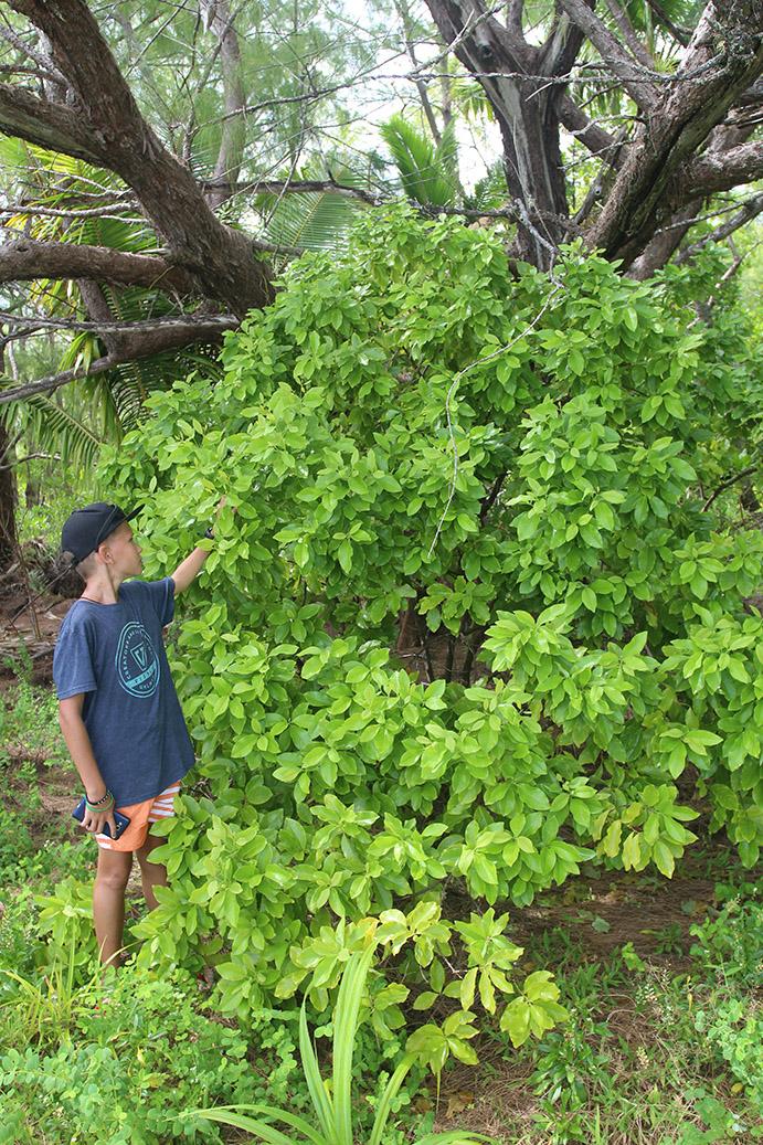 Raivavae, l'île aux santals