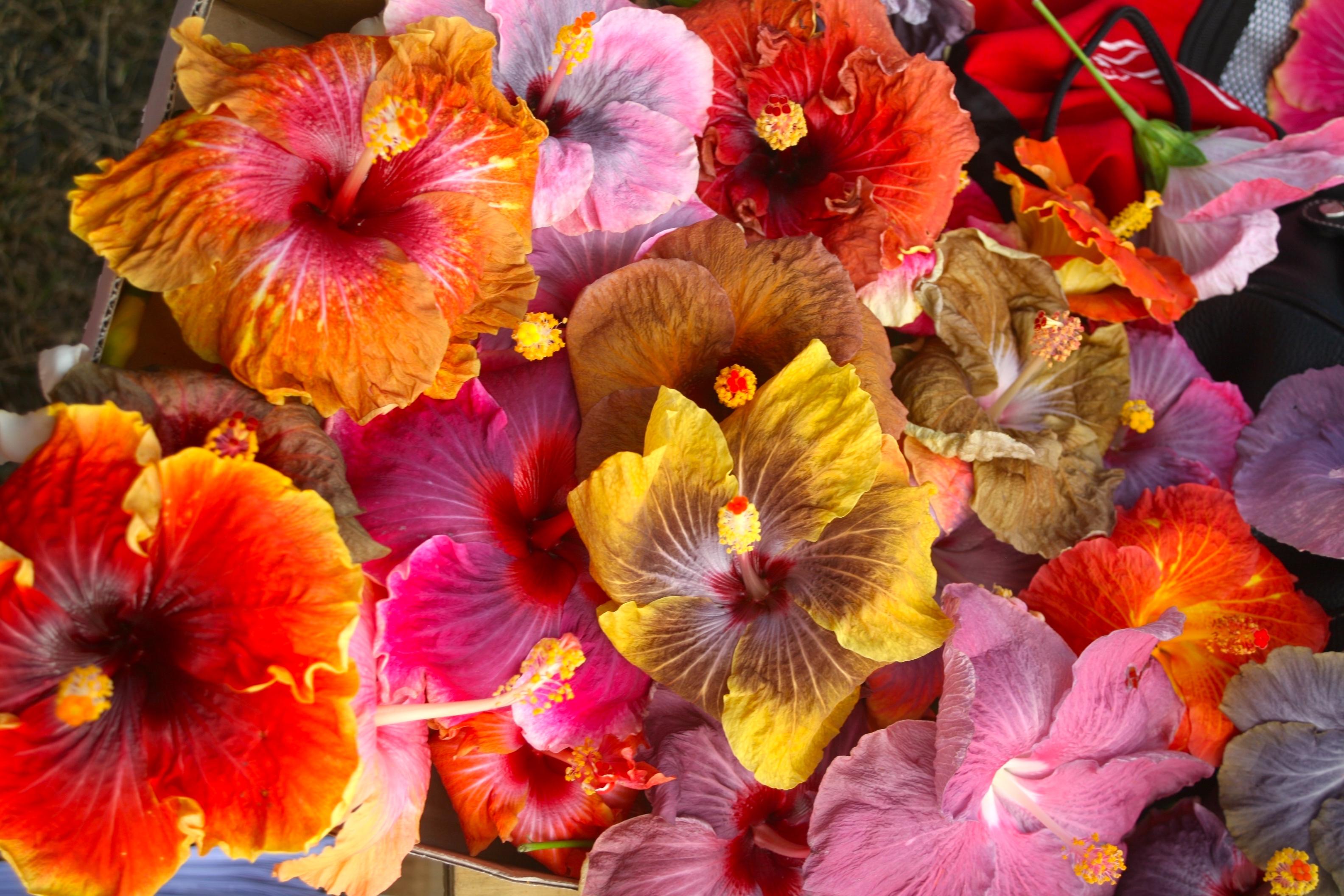 Il existe plus de neuf mille variétés d'hisbiscus dans le monde, plusieurs centaines probablement dans la seule Polynésie française.