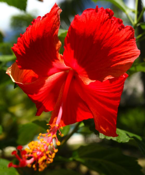 Le nom scientifique de l'hibiscus (Hibiscus rosa-sinensis) peut faire croire que la plante est originaire de Chine. En réalité, on ne connaît pas son lieu de naissance, sans doute l'Extrême-Orient tropical.