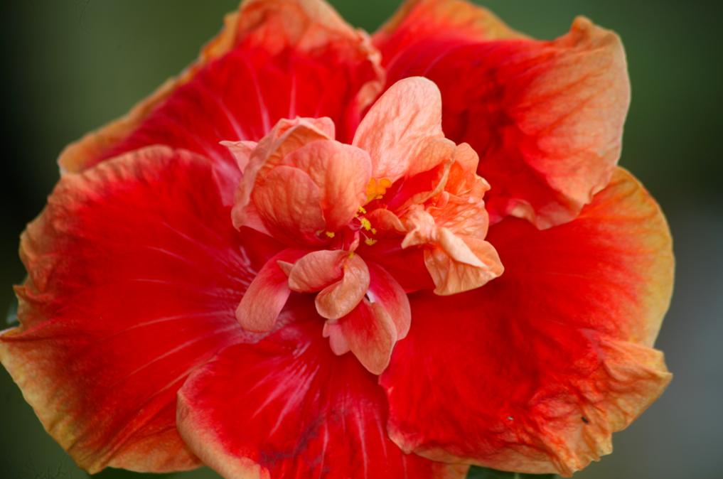 Une variété double d'hibiscus ; la fleur se prête à presque tous les caprices des hommes, sauf sur un point : la nature et toute leur science ne leur a jamais permis de produire un hibiscus bleu.