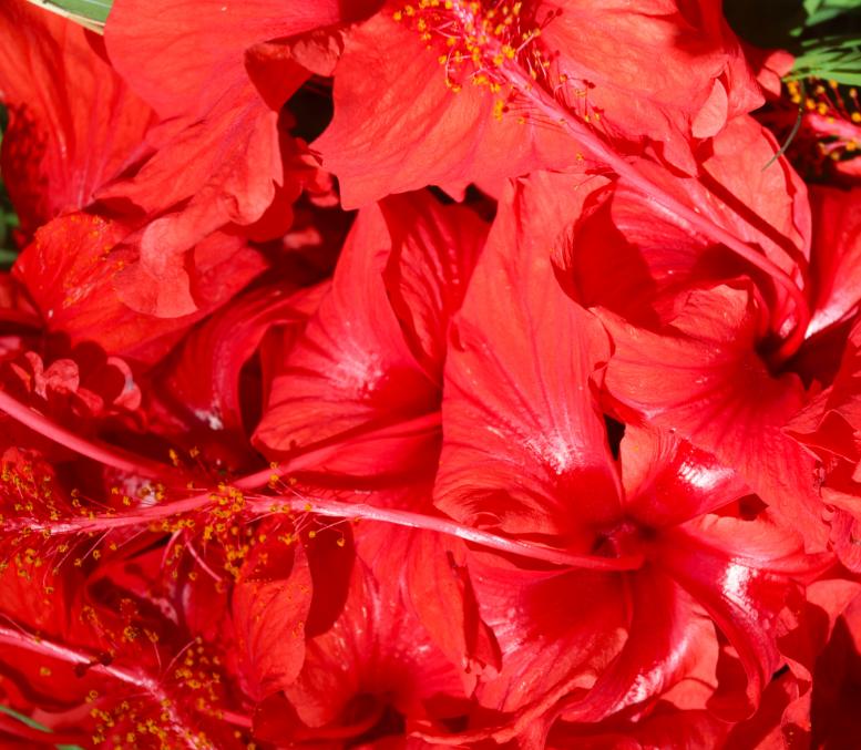 Une variété d'hibiscus rouge avait  été introduite par les premiers Polynésiens lors de leurs migrations vers l'est. Elle a des propriétés médicinales, ce qui n'est pas forcément le cas des variétés importées plus tardivement.