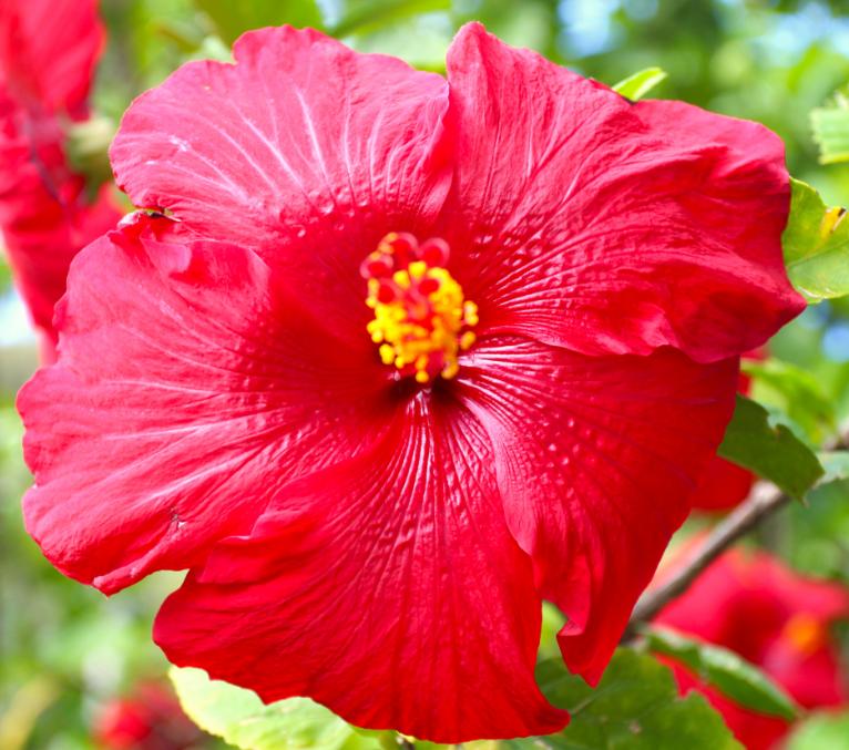 Attention aux prétendues propriétés médicinales de l'hibiscus ; elles s'appliquent, en médecine traditionnelle, aux hibiscus introduits par les Polynésiens, pas aux variétés dues aux Européens et encore moins à tous les hybrides.