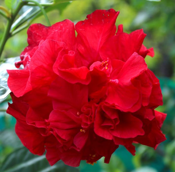 Le docteur Johnstone, qui introduisit à Tahiti de nombreuses plantes, dont le cacaoyer et le bougainviller, a également importé à Tahiti les premiers hibiscus rouges et doubles.