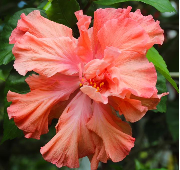 A Tahiti, un Américain, Richard Johnson, appelé Dick par ses amis, a longtemps été le président de la International Hibiscus Society, qui a aujourd'hui des ramifications dans le monde entier (http://www.internationalhibiscussociety.org/).