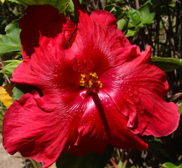 Les hibiscus, à tort, passent pour des fleurs stériles. Il n'en est rien, il suffit de prélever le pollen des étamines d'une fleur pour le placer sur le pistil d'une autre et vous obtiendrez un joli petit fruit, porteur de graines.