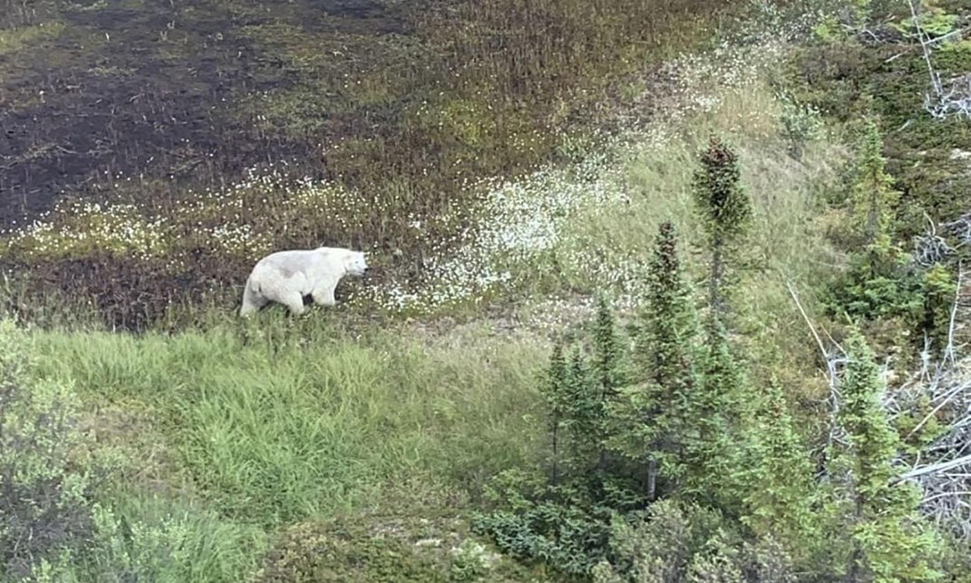 La région de Gillam est très inhospitalière, avec des zones marécageuses infestées de moustiques et peuplée par des animaux sauvages. La GRC du Manitoba a ainsi publié sur son compte Twitter une photo d'un ours blanc repéré samedi pendant les recherches à environ 200 km au nord de Gillam.