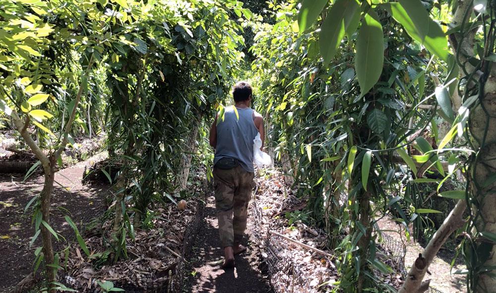 L'agriculteur souhaite désormais produire plus de vanille. Il prépare depuis plusieurs mois un espace de 2 000  mètres carrés pour faire pousser ses lianes.