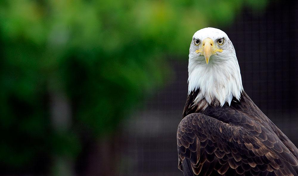 L'emblème même du pays, le pygargue à tête blanche, a notamment été sauvé de l'extinction grâce à l'Endangered Species Act de 1973.