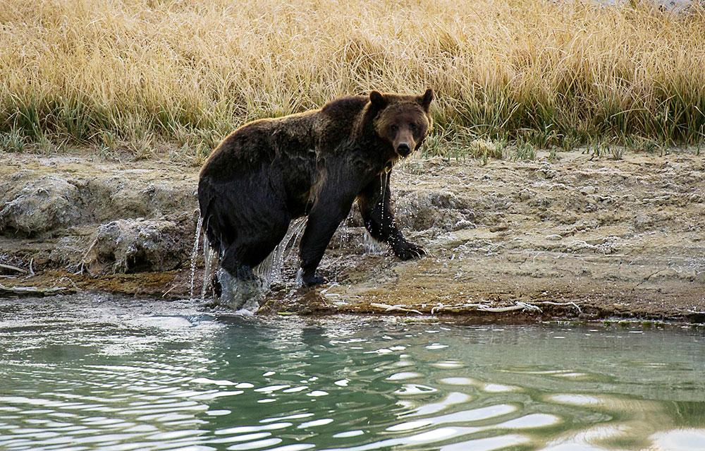 Un Franco-canadien tué par un grizzly dans le Grand Nord canadien