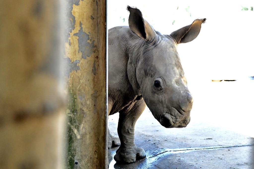 Kenya: des scientifiques font un pas de plus pour sauver le rhinocéros blanc du Nord
