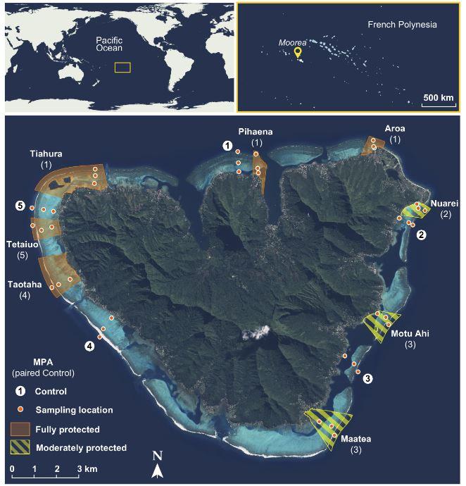 Le réseau des Aires marines protégées de Moorea. En orange, les zones totalement interdites à la pêche et aux activités extractives. En jaune, les zones partiellement protégées. Selon leur vocation, diverses activités y sont autorisées. Ainsi, dans l'AMP à vocation touristique de Nuarei, la pêche à la ligne , la pêche à la bonite et la pêche des alevins sont permises. Les points orange sont les lieux où les prélèvements du Criobe sont effectués depuis 2004.