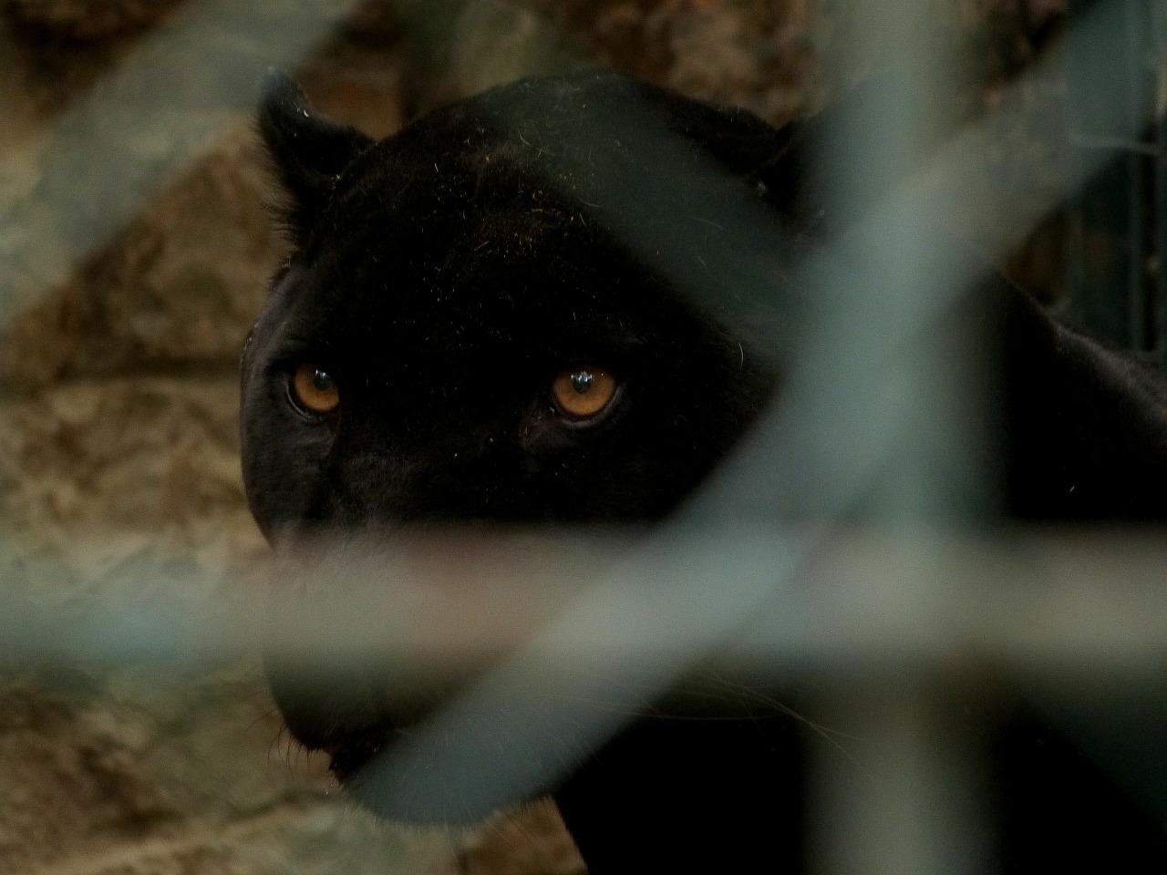 Panthère noire à Armentières: le fauve appartenait à un particulier