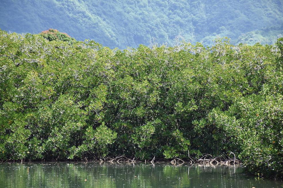 Le palétuvier : une espèce à surveiller au fenua