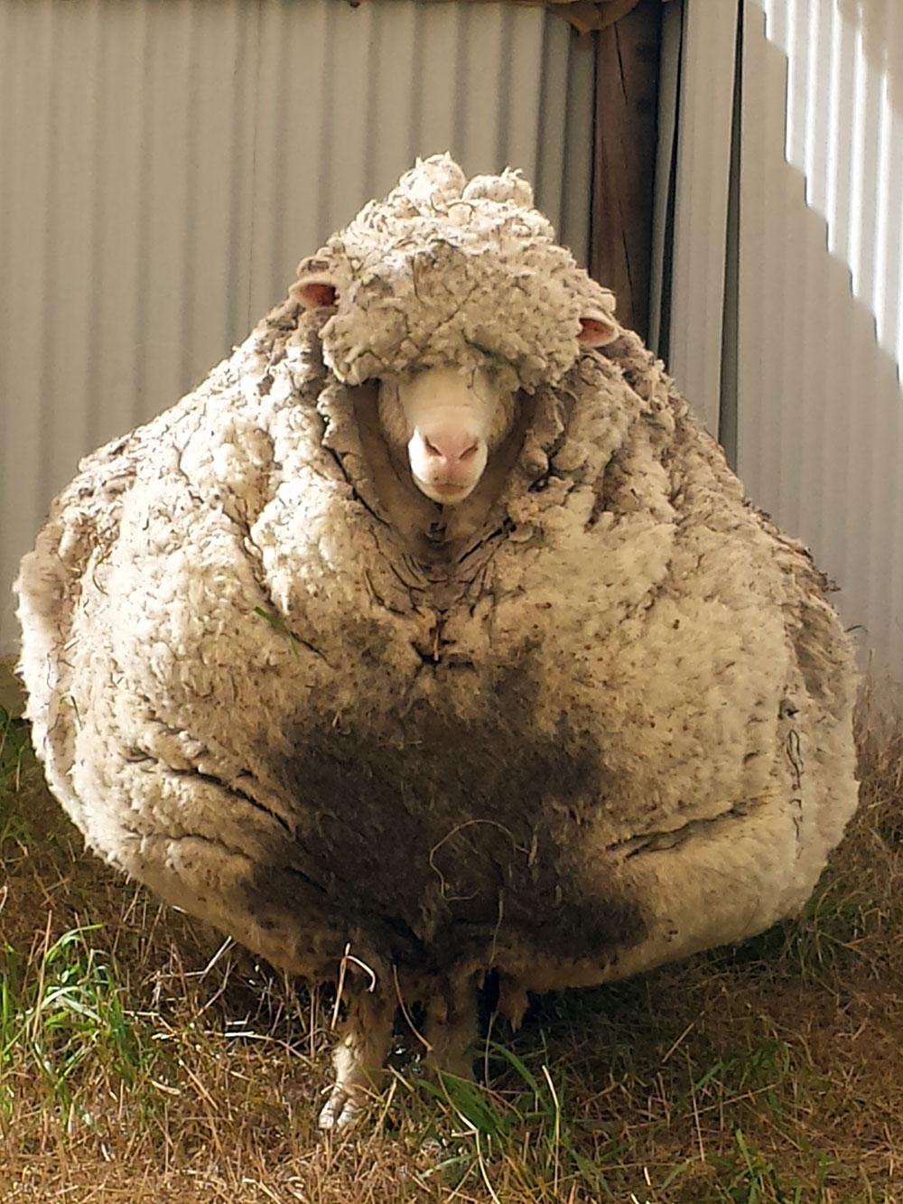 Chris le mouton, célèbre pour sa toison, est mort