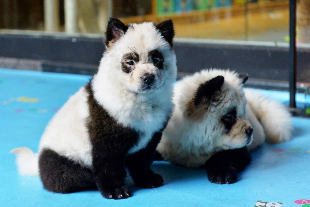 """Chine: un café à animaux fustigé pour ses """"chiens pandas"""""""