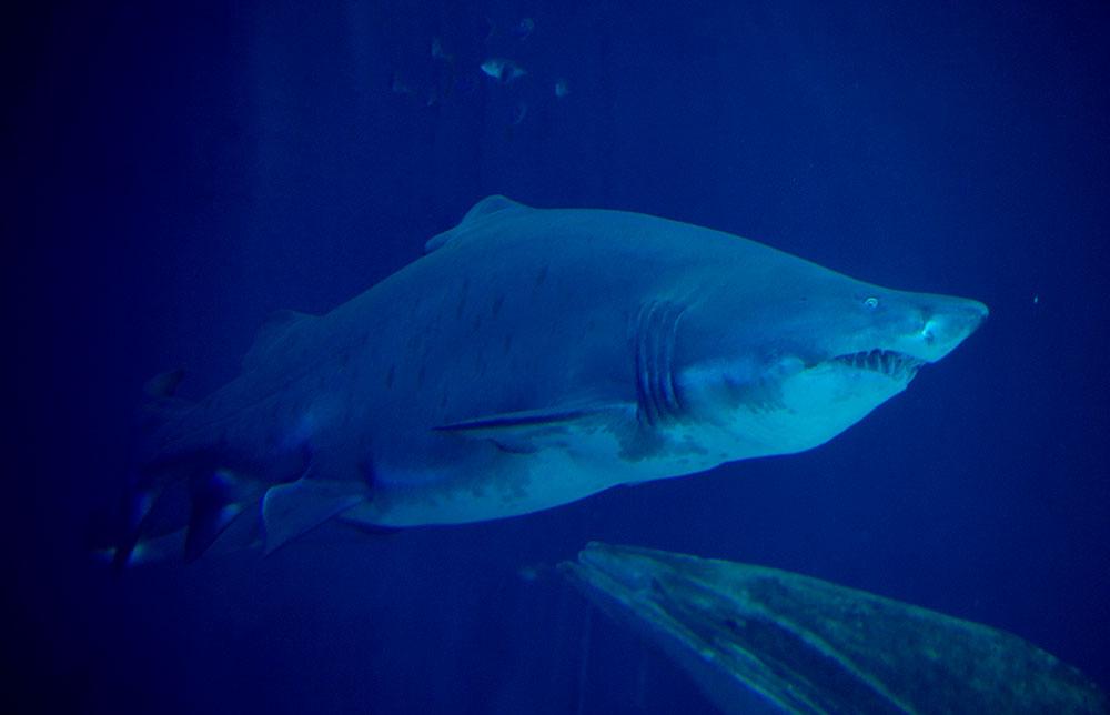 La réunion: La main et un avant-bras découverts dans l'estomac d'un requin tigre