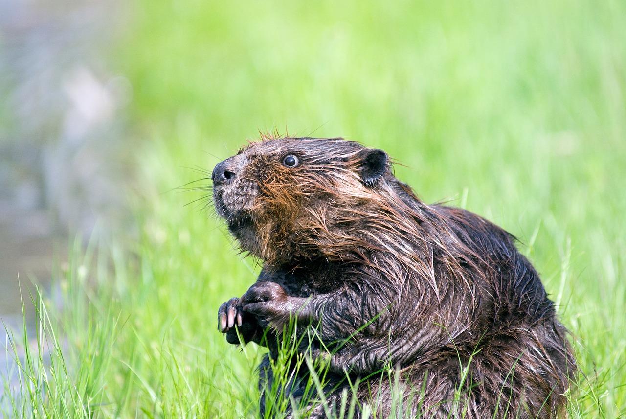 GB: les castors appelés à la rescousse contre les inondations