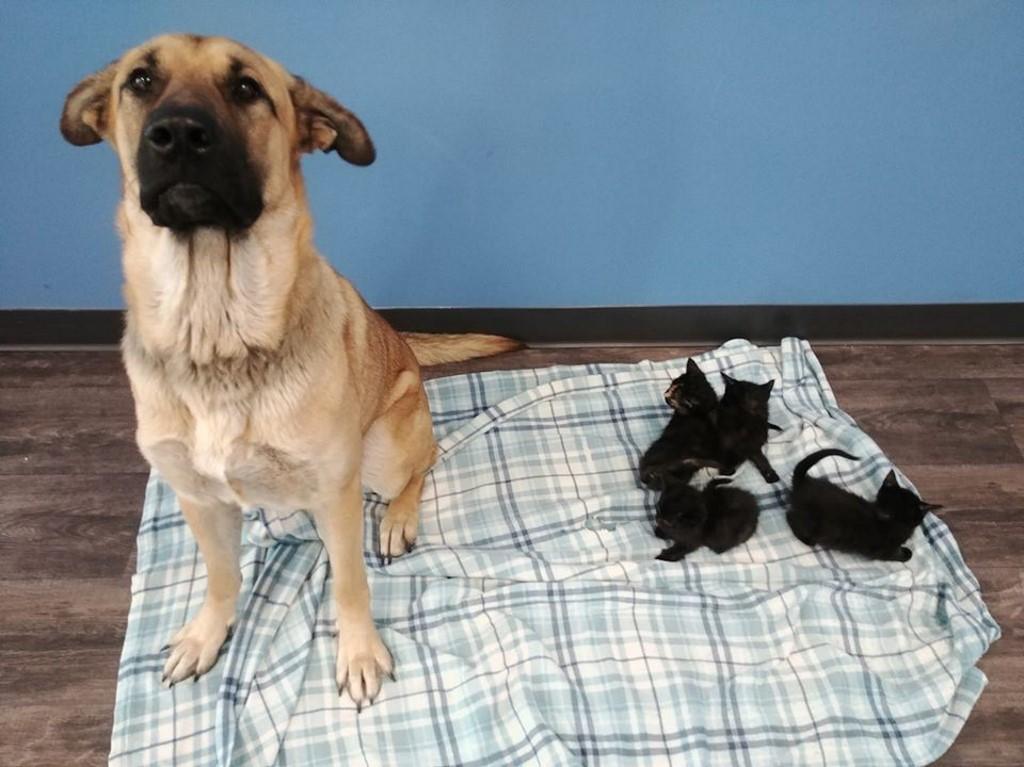 Au Canada, un chien errant sauve du froid des chatons abandonnés