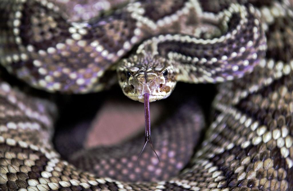 Au Brésil, un venin de serpent mortel qui sauve des vies