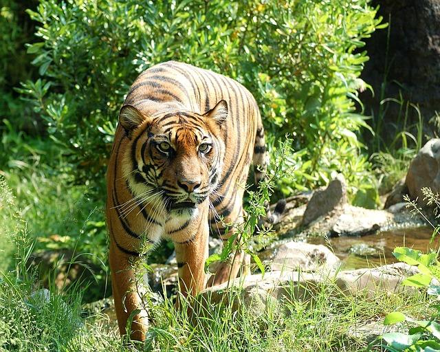 Indonésie: un agriculteur tué par un tigre de Sumatra
