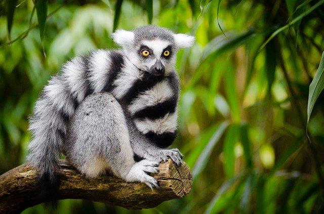 Le réchauffement climatique, nouvelle menace sur les lémuriens de Madagascar